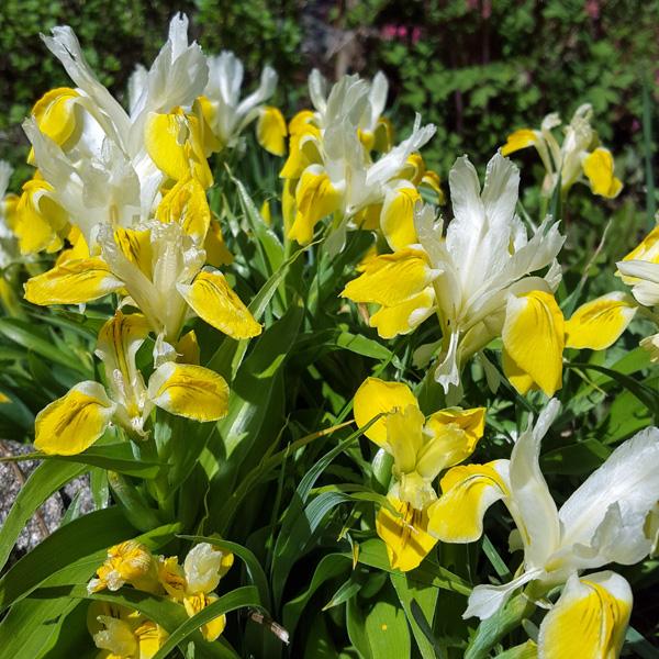 iris-bucharica-1605043