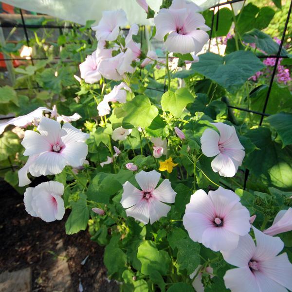 sommarmalva-dwarf-pink-blush-160728