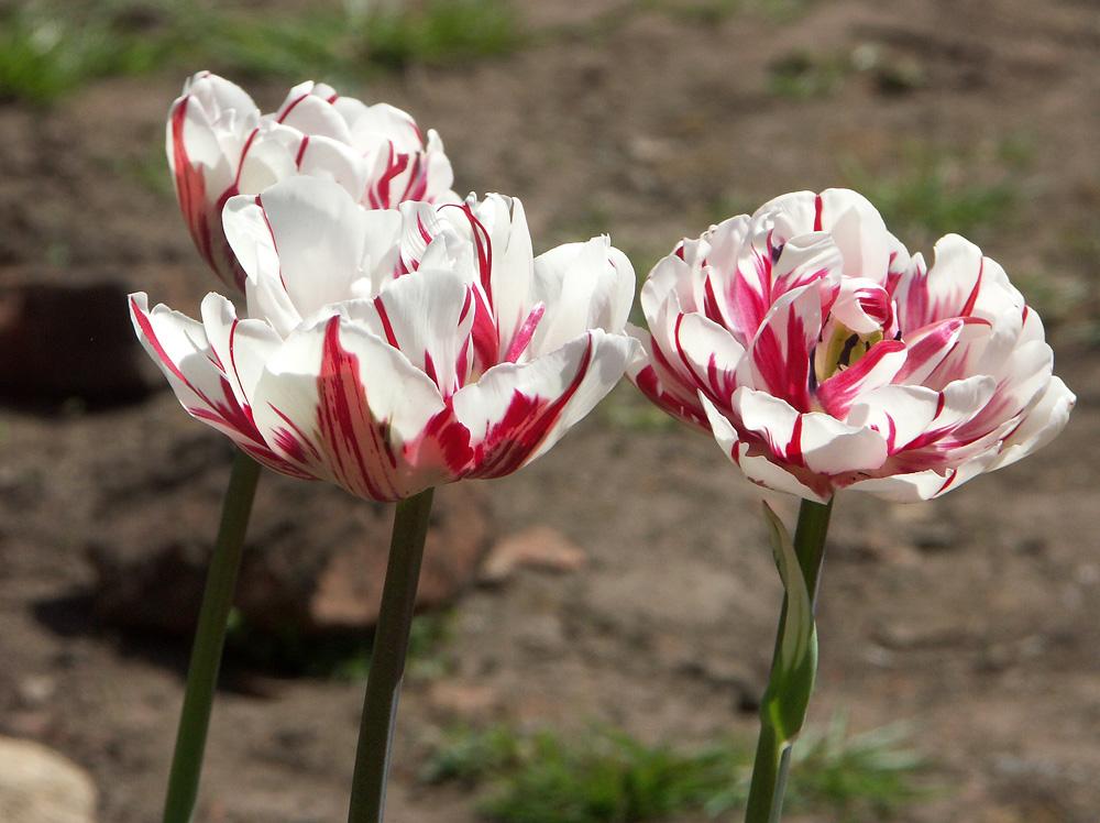 tulipa-carnaval-de-nice-080509