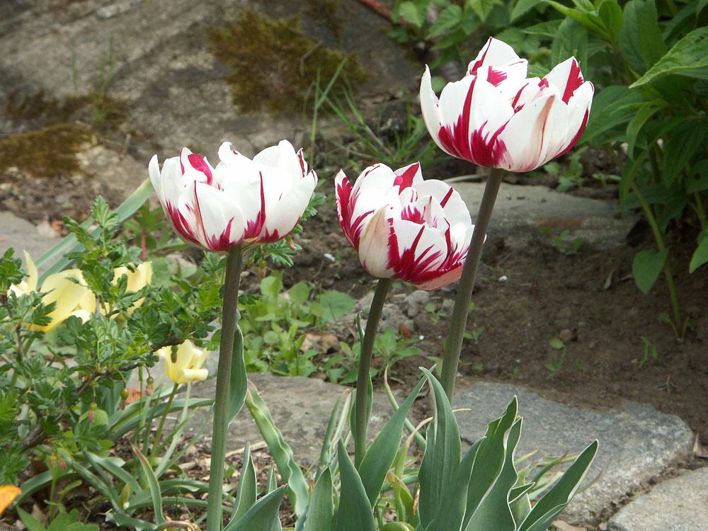 tulipa-carnaval-de-nice-090512