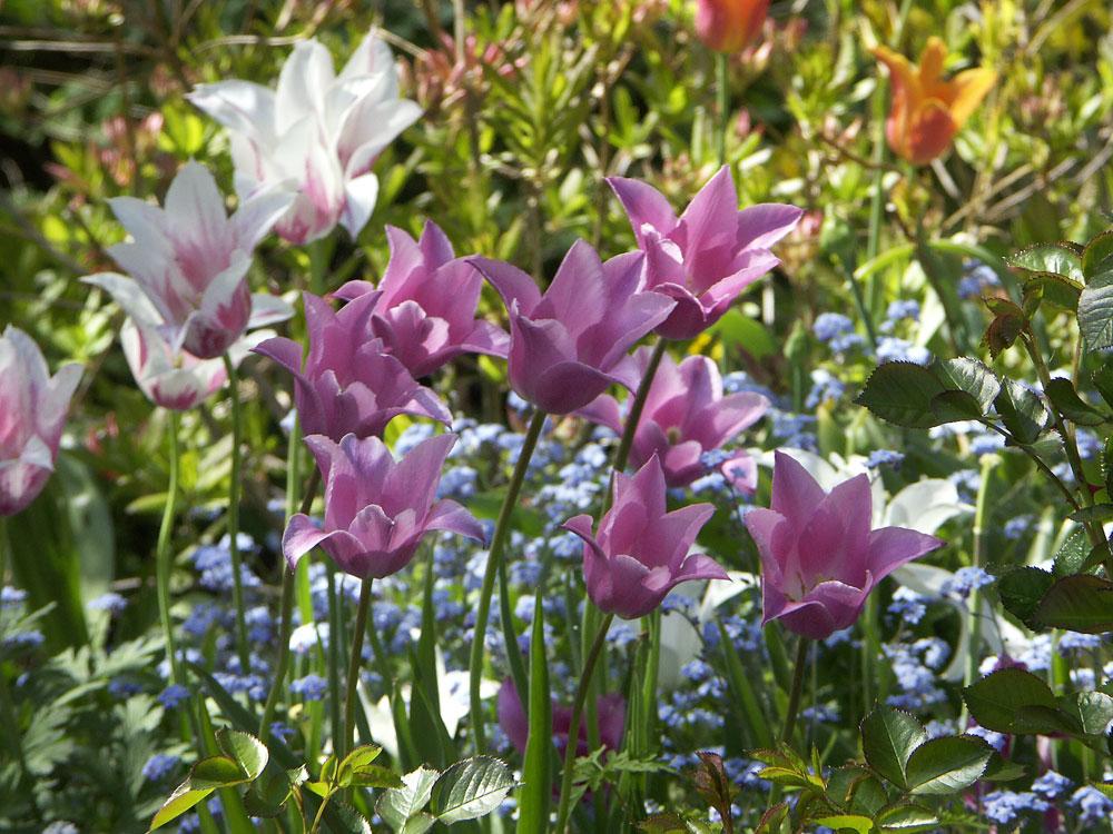 tulipa-china-pink-070516
