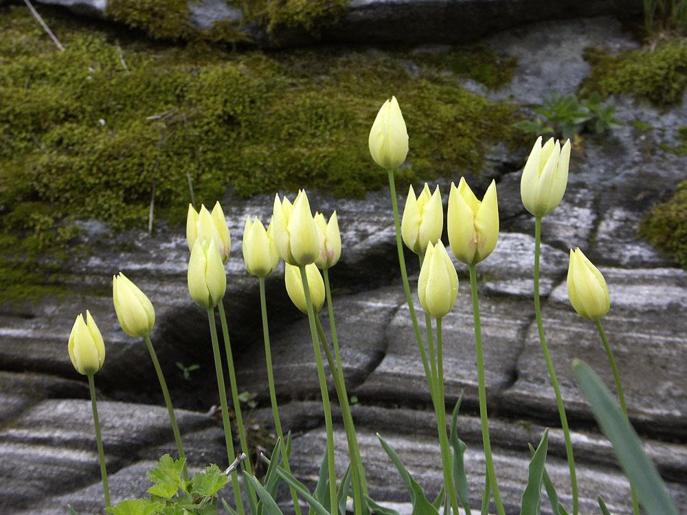 tulipa-marjolettii-070513