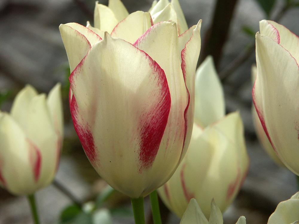 tulipa-marjolettii-070531d