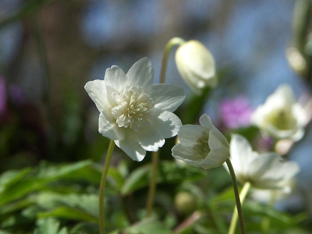 anemone-nemorosa-vestal1